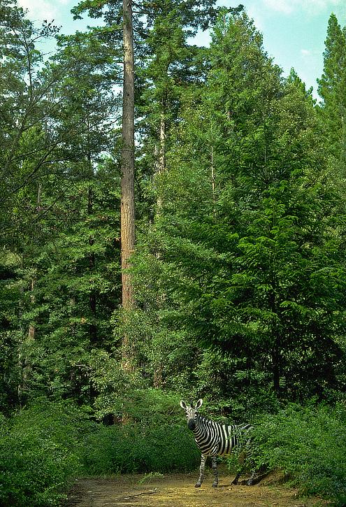 Zebra in the Redwoods